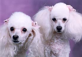 "The image ""http://www.wcrosby.com/poodles.jpg"" cannot be displayed, because it contains errors."